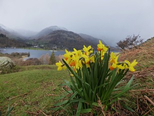 Place Fell Daffodils above Ullswater